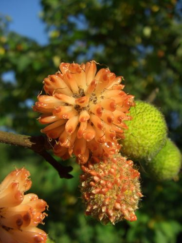 Papiermaulbeerbaum blickwinkel - Paper mulberry - Wikipedia, the free encyclopedia
