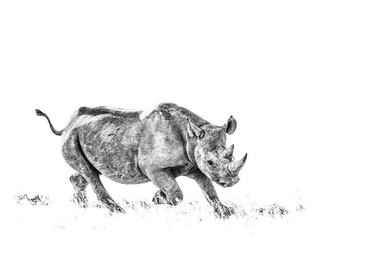 Black rhino charge in a BW print by wildlife photographer Dave Hamman