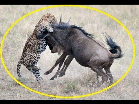 Leopard attack wildebeest - Wild animal attack