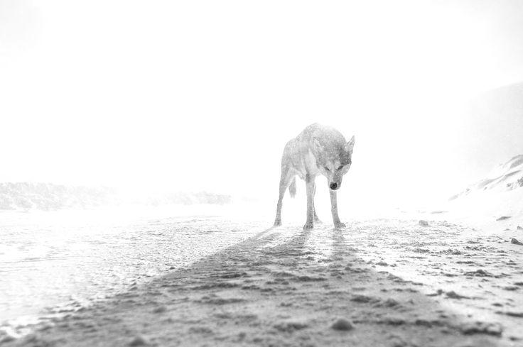 Wolf - .