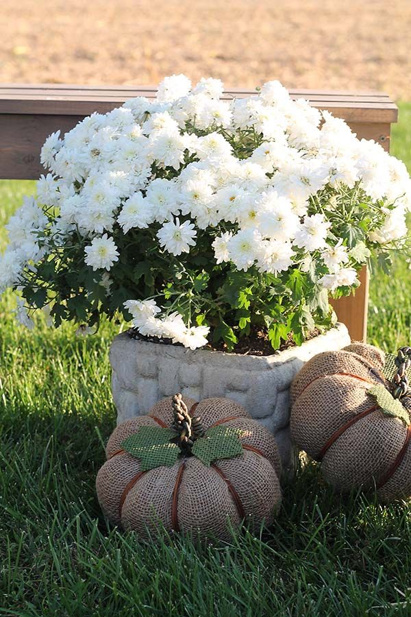 Fall Decorating Ideas for a Harvest Bonfire Party: white mums and decorative fabric pumpkins.