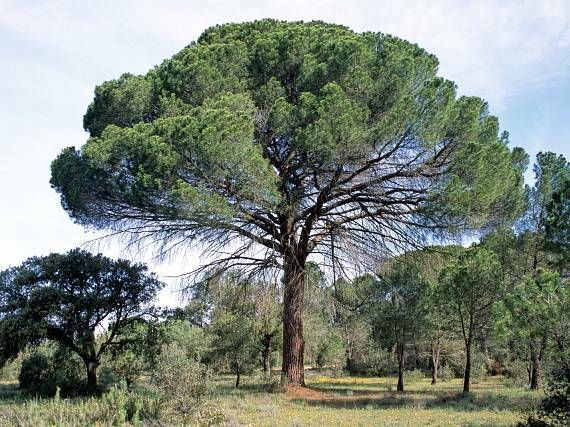 Pinus pinea google keresés arbor pinterest arbors