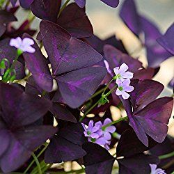 Purple Shamrock Plant grows in a mound of striking purple foliage with clusters of soft-pink, trumpet-shaped blooms. Find a profile, picture, and house plant care tips here.
