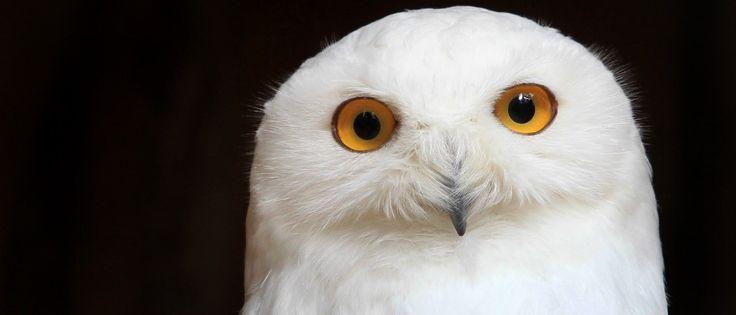 Corujas são animais interessantes e muito peculiares. São aves silenciosas, espertas, ambiciosas e misteriosamente relacionadas à sabedoria. Você sabe por quê? Não? Pois então descubra a seguir …