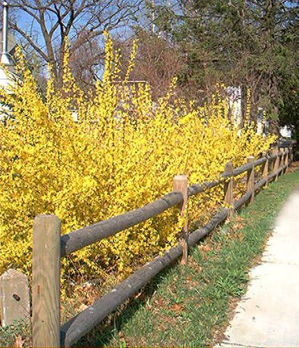 Forsythia shrubs are among the first to provide the spring landscape with a burst of color