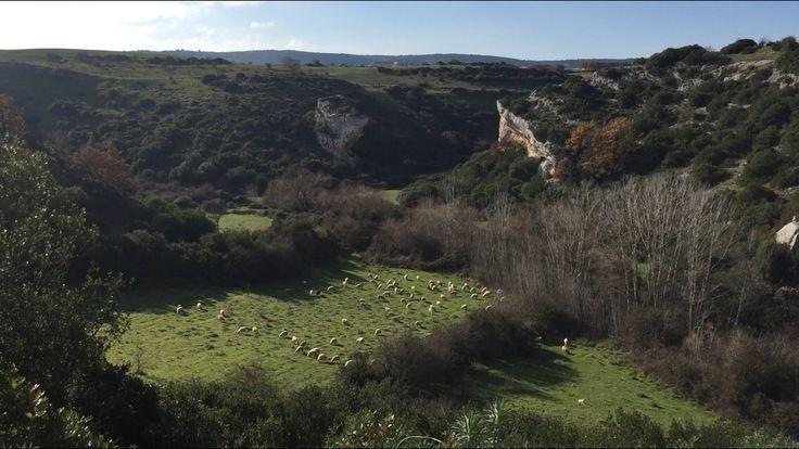 Pecore, dall'alto