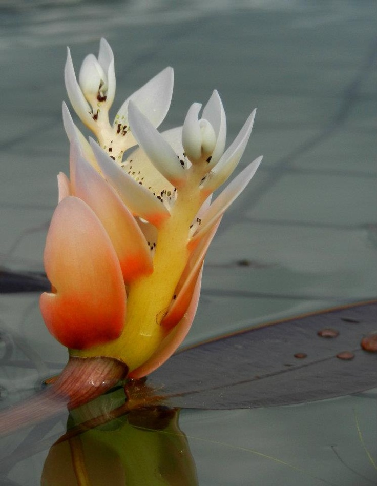 Water Lily  #Babylonstoren