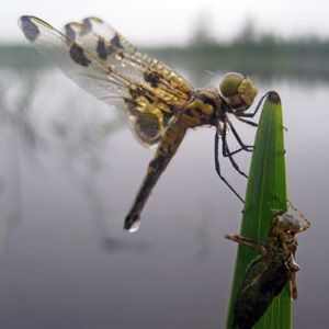 """After up to 5 years in the water, a dragonfly larvae emerges as an adult, leaving behind the """"exuviae�, Acadia NP, Maine. Photo courtesy of the SERC institute."""