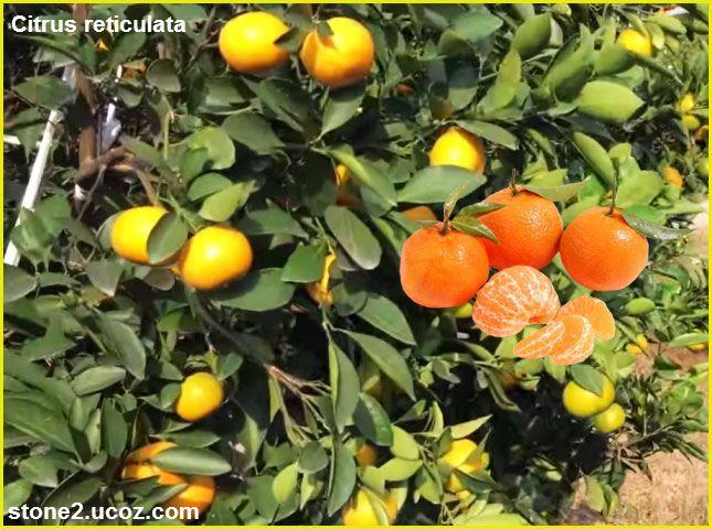 اليوسفي او الافندي او اليوسف افندي Citrus Reticulata قسم الفواكه النبات معلومان عامه معلوماتية Citrus Reticulata Citrus Fruit