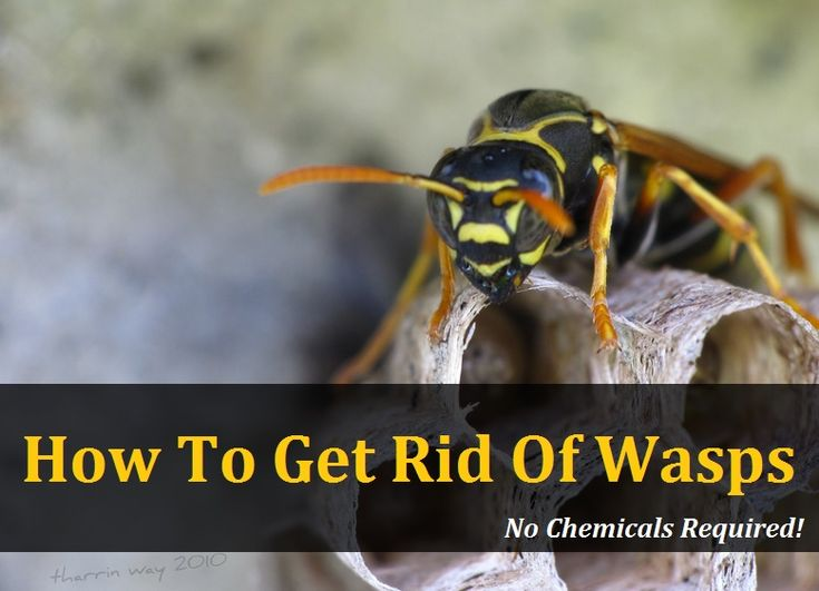 Natural Way To Kill Yellow Jackets In The Ground