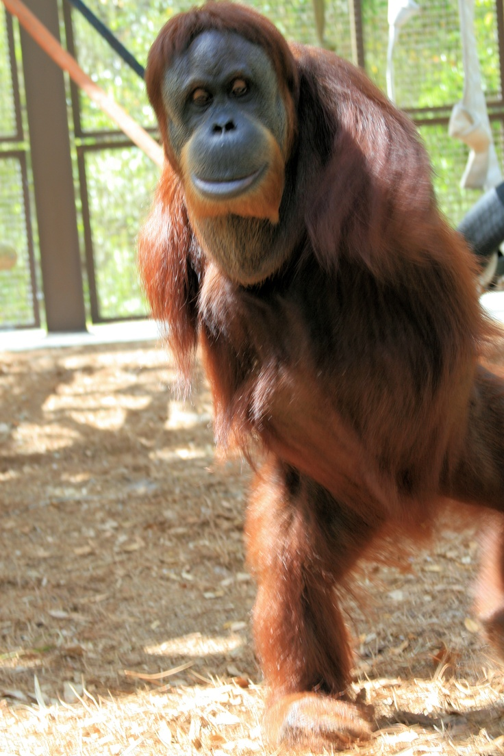 This is Mari, a brilliant orangutan who lost her arms in a traumatic event when she was only 12 weeks old.  Read her story here: http://www.centerforgreatapes.org/residents-details.aspx?id=25