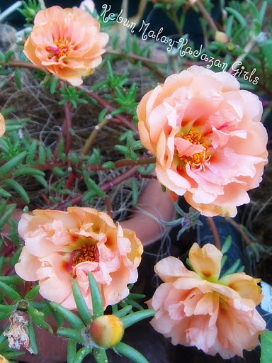 142 Best Images About 1-Portulaca On Pinterest