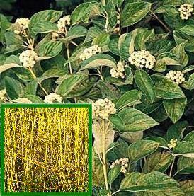 Cornus sericea 'Flaviramea'(YELLOW TWIG DOGWOOD) For growing details see: http://www.fast-growing-trees.com/YellowTwigDogwood.htm