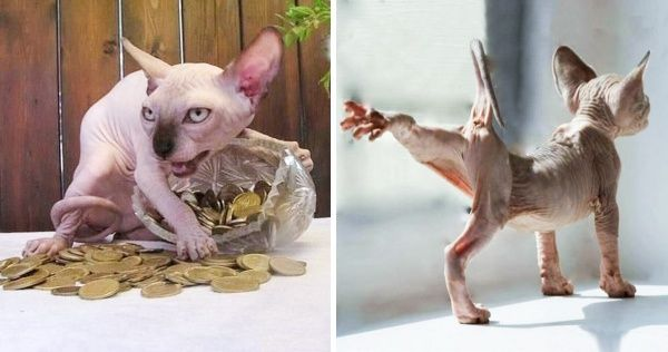 30 Reasons Why Sphynx Cats Are Not Just Cool They Re Super Cool Sphynx Cat Sphynx Gorgeous Cats