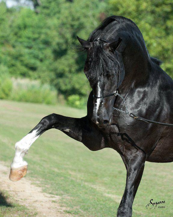 park-trot:  Sundance Kid V Palmetto Arabians