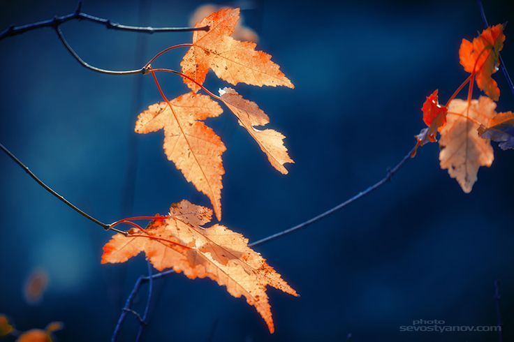 """Fall Time, Orange leaves in Autumn Forest with Indigo Background.  From """"Autumn"""" photo prints collection."""