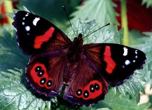 метелик адмірал опис | Метелик, Метелики, Комахи