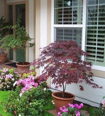 Japanese Maple In A Container Zones 5 9 Article Recommends Against Potting Soil Gardening Mix