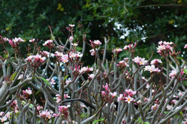 Kann die Frangipani auch in unserem Klima gut überleben? • Pflanzen Fragen & Antworten • 99Roots.com