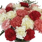 These pink and white carnations are perfect for mother's day!