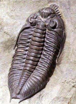 Trilobite fossil. Over 17,000 known species roamed the oceans for over 270 million years. From around 500 m years ago.