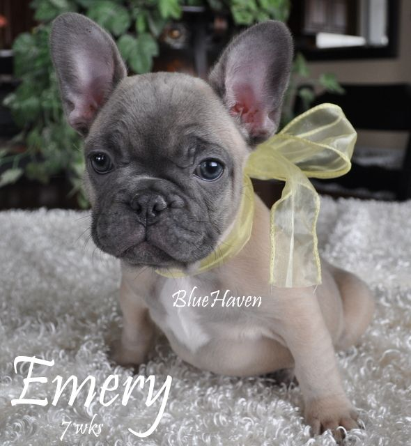 Blue-fawn Frenchie