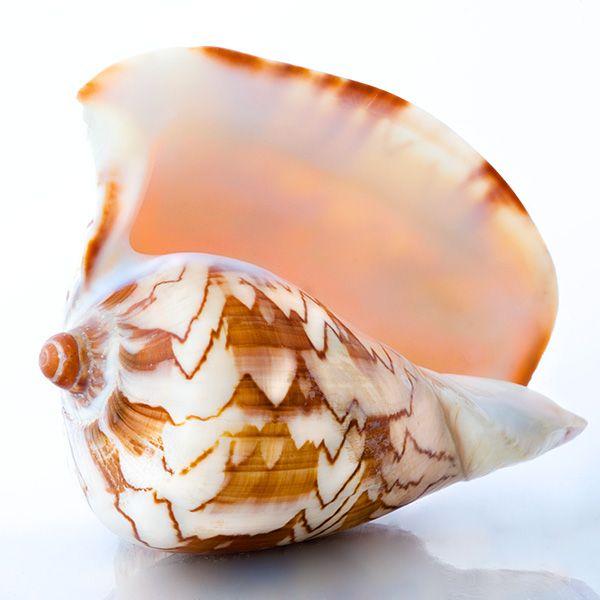 Noble Volute. beautiful sea shell