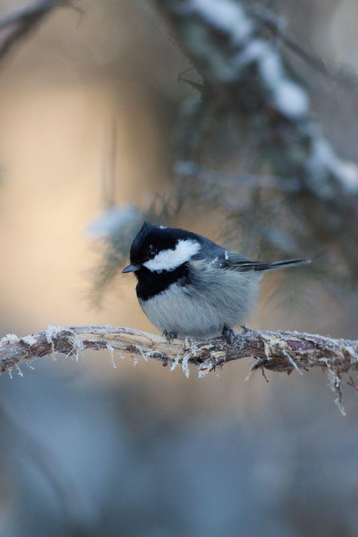 Mésange Noire⎜Tannenmeise⎜Chapim-Carvoeiro⎜Coal Tit (Periparus Ater) © Ville Airo #aves #wildlife #paridae
