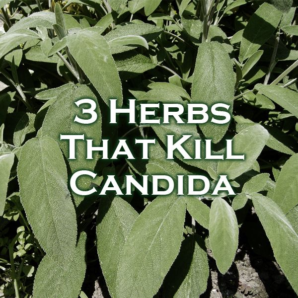 3 Herbs That Kill Candida. In case you have a candida overgrowth in your body, you can be sure that you will have to face an infection. In order to take care of this problem, you could be thinking about the herbs that kill candida which are just as effective as the drugs you could get at the pharmacy.