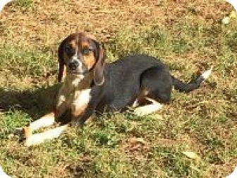 Dumfries, VA - Beagle Mix. Meet Sasha, a dog for adoption. http://www.adoptapet.com/pet/16983847-dumfries-virginia-beagle-mix
