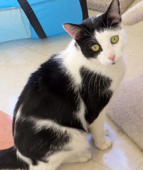 Sparrow is a big one year old kitty who has good looks and lots of charm. We aren't certain why he is named Sparrow, cause he is anything but a delicate Sparrow! He is a big loving kitty, though, that likes to play with all types of cat toys and...