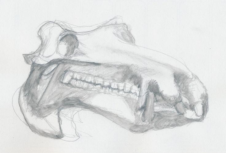 Nijlpaard Tanja's schedel / Hippo skull www.dessindestin.com