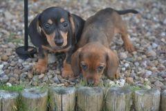 Pedigree Miniature Dachshunds puppies for sale. Dachshund puppies for sale . Puppies for sale in UK - England, Scotland, Wales & Northern Ireland.