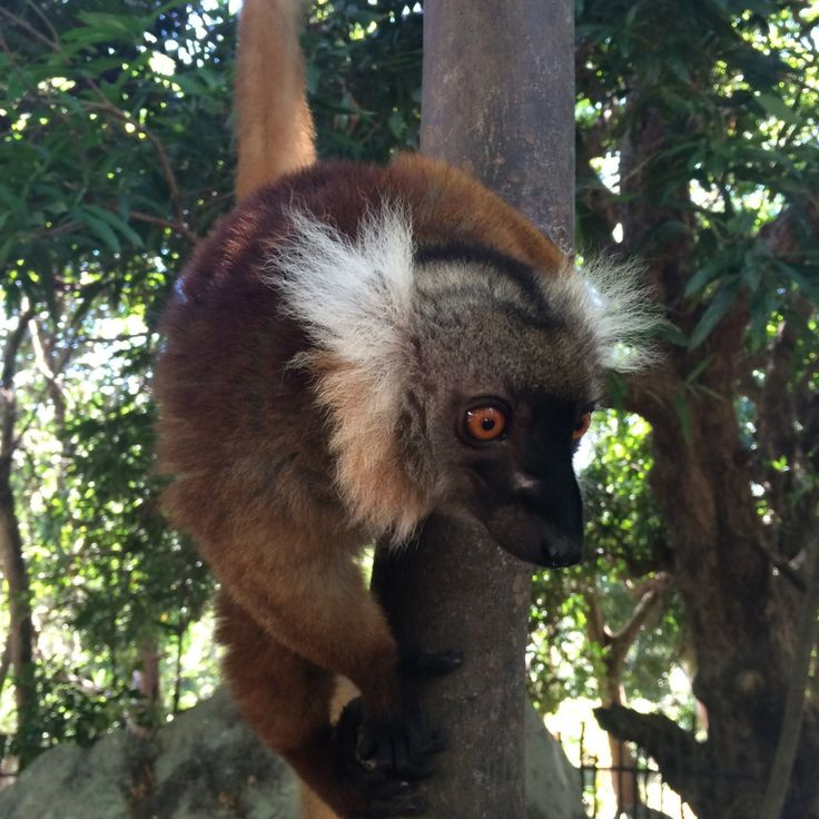 Nosy Be, Madagascar, lemur, Nosy Komba