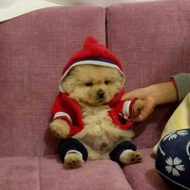 💞🐻🐼🐻💞 PHoTo : @mrchowchowbuddy 💞🐻🐼🐻💞 #animals #animal #pets #pet #dogsofinstagram #dog #puppy #instapuppy #puppies #woof #fluffy #paws #model #fashion #cachorro #perro #собака #щенок #anjing #aşk  #model #fashion  #baby #hound #teddybear #love #babyappppnimals #chowchow #chowchowpuppy #강아지 #犬 #개  _________________________  ADMiN : @SePeHR.HaNiFi ADMiN 2 : @DeLViN_CHoW  TaG YouR FRieNDs :👇👥👇