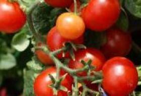 Jak správně pěstovat rajčata