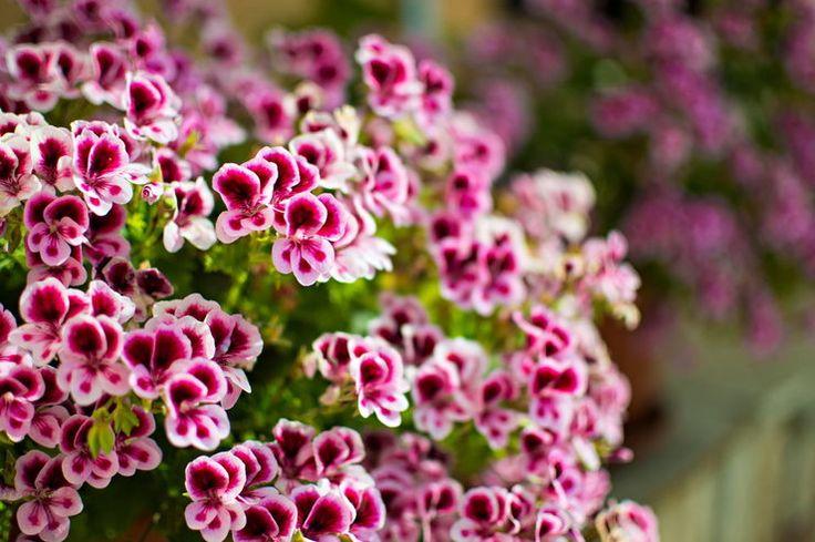 Siedem długo i efektownie kwitnących roślin na balkony i do donic: pelargonia, czubatka ubiorkolistna, gazania - Dom