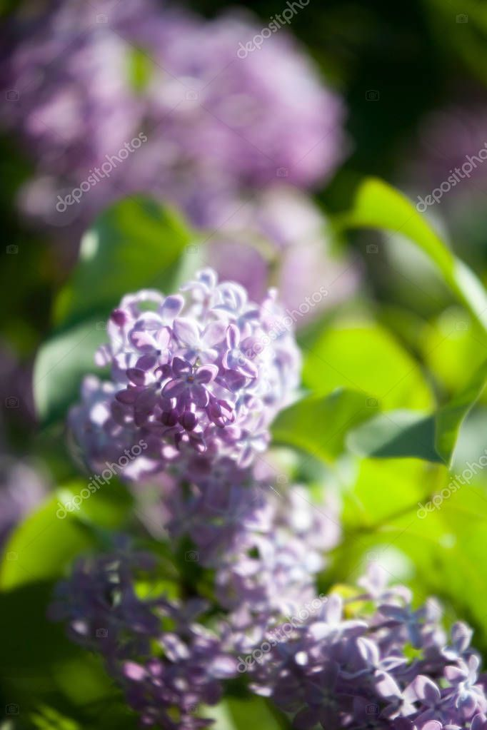 Lilac Tree Blooming Stock Photo Affiliate Tree Lilac Blooming Photo Ad In 2020 Lilac Tree Lilac Flowers Bloom