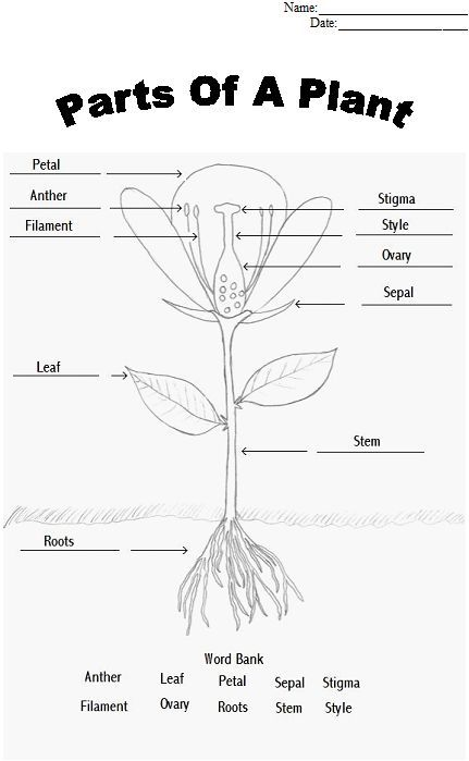 Parts of a Plant Coloring sheet tape or glue parts to