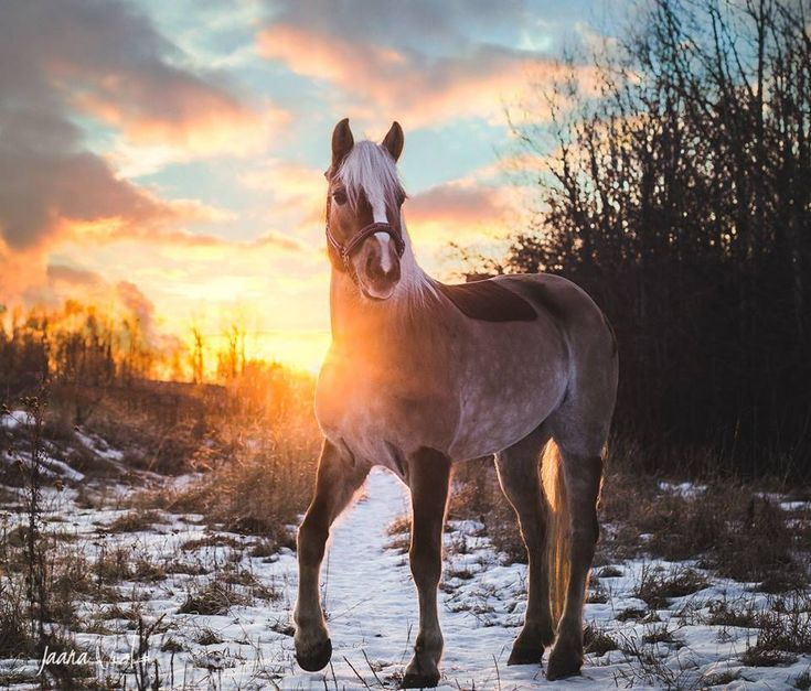 Haflinger with body clip