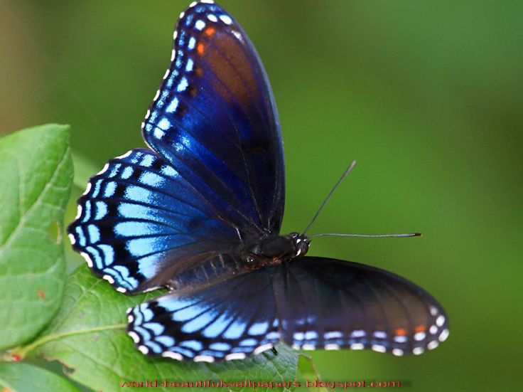 latest wallpapers of butterflies - photo #28