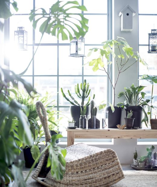 Many plants are placed in front of a large window to create a relaxing space with a bench and an IKEA PS GULLHOLMEN rocking chair.