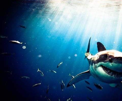essay on fear of sharks The fearsome predator in jaws changed changed how the public views great white sharks.