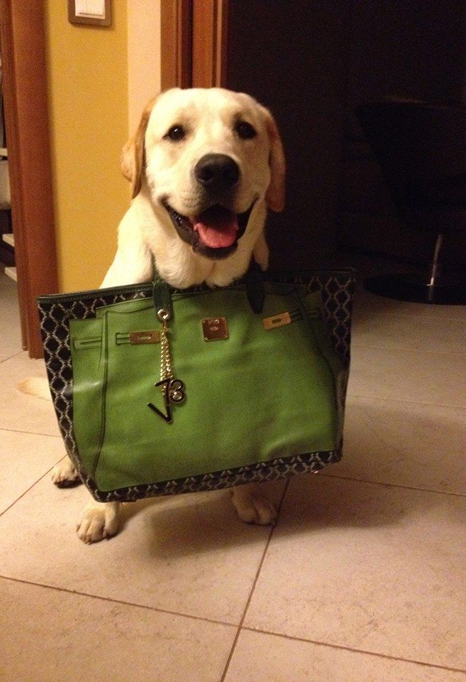 Achille with V73 City Bag - Small Size Green ww.v73.us/city-bag/small-size/147-city-bag-small-size-green #v73 #bag #dog #lab #cute