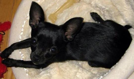 chihuahua black dating site The city of chihuahua (spanish pronunciation:  a cristero martyr of the 1930s), dating from the 18th century, the government palace from the early 19th century,.