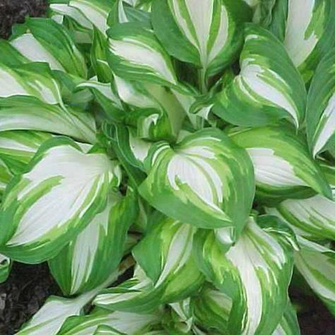 "Hosta 'Undulata' , Wavy Plantain Lily, Variegated forms are resilient and have slightly twisted foliage with laavender flowers, 12"" - 18"""
