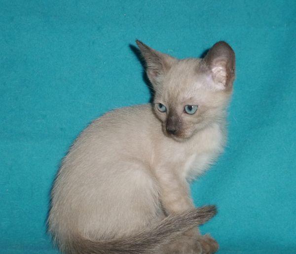 котенок тонкинской породы, окрас натуральная норка