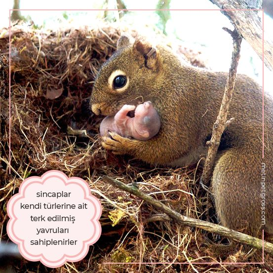 Sincaplar kendi türlerine ait terk edilmiş yavruları sahiplenirler.    #sincap #squirrel #animallover #animal #instagood #hayvansevgisi #instalike #prilaga #Turkey #ilginçbilgiler #doğa #nature