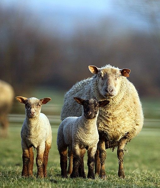 In Gieville, France, a pretty sheep family poses for the camera.