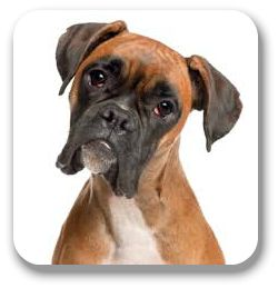 Boxers are great dogs because they are big and can protect you, but still give tons of love and kisses.  Very important:  You MUST give your Boxer plenty of exercise every day or your life will be nuts.